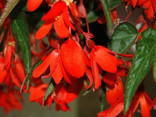 Begonia - Waterfalls Encanto Red