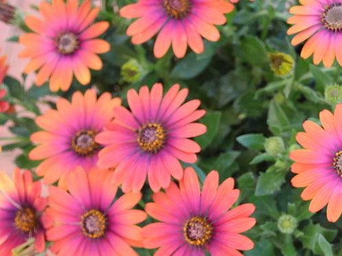 Osteospermum - Zion Purple Sun