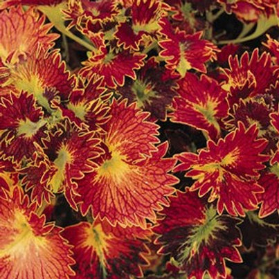 Coleus - Stained Glassworks Tilt A Whirl