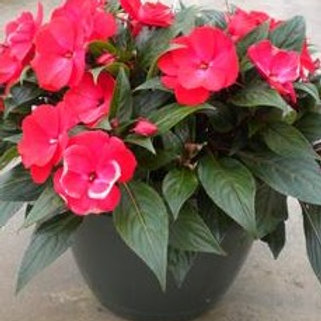New Guinea Impatiens - New Red