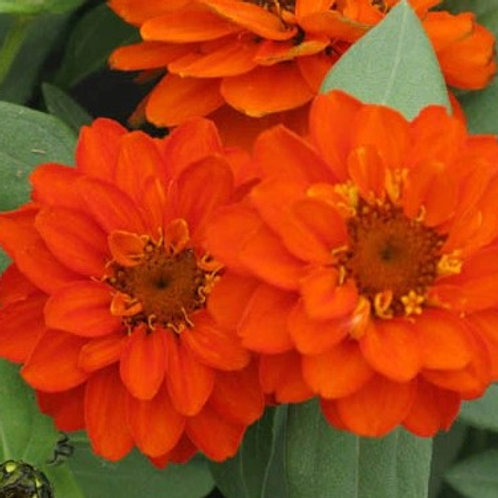 Zinnia - Profusion Double Fire