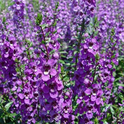 Angelonia - Carita Purple (4.5 in.)