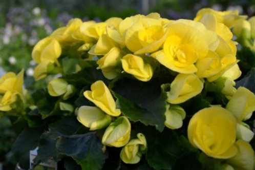 Begonia - Solenia Yellow