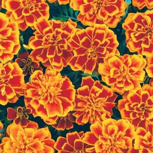 Marigold, French Crested - Bonanza Flame
