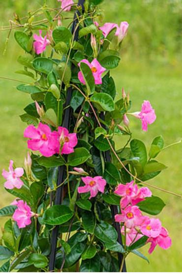 Mandevilla - Coral Pink