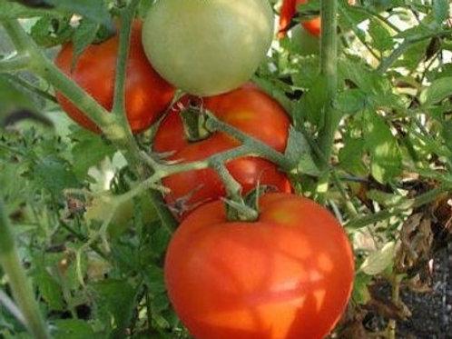 Big Beef - Indeterminate Tomato