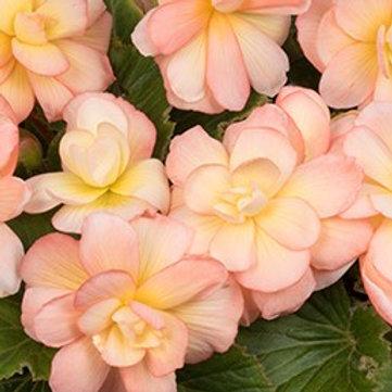 Begonia - Scentiment Sunrise