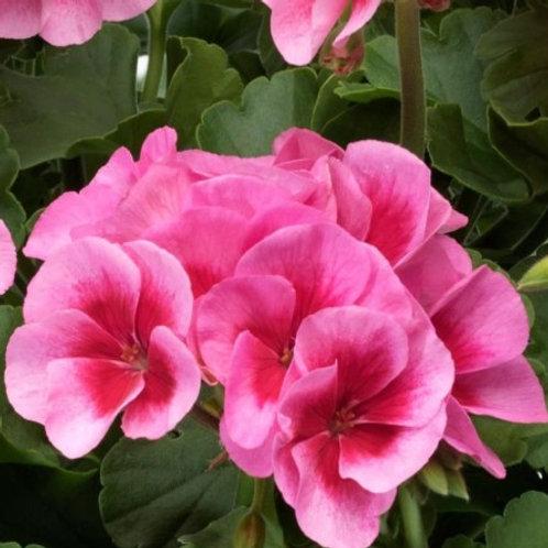 Geranium - Americana Rose Mega Splash