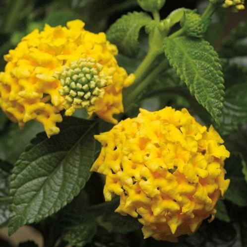 Lantana - Landscape Bandana Yellow