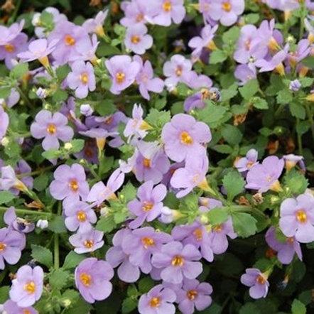 Bacopa - Calypso Jumbo Deep Lavender