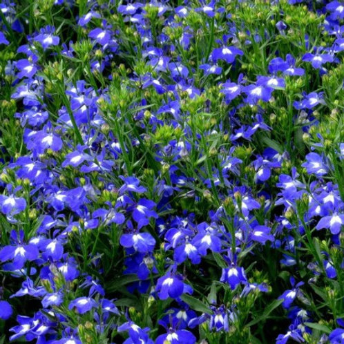 Lobelia - Techno Dark Blue
