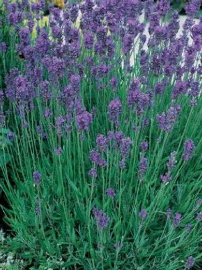 Lavender - Munstead