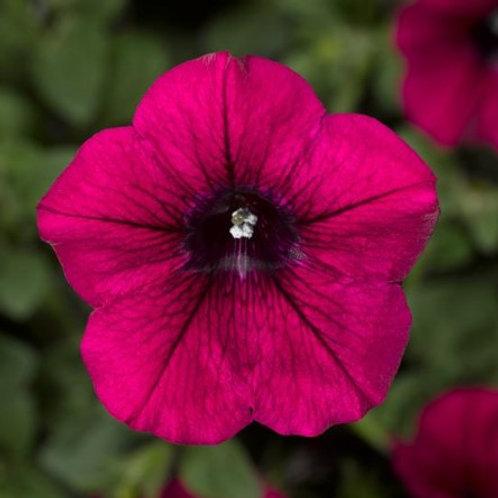 Petunia - Sanguna Patio Purple