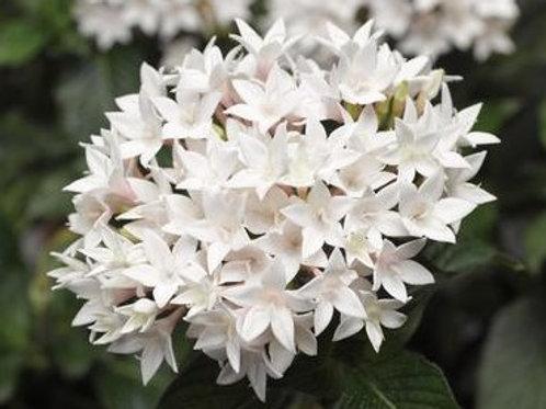 Pentas - Starcluster White