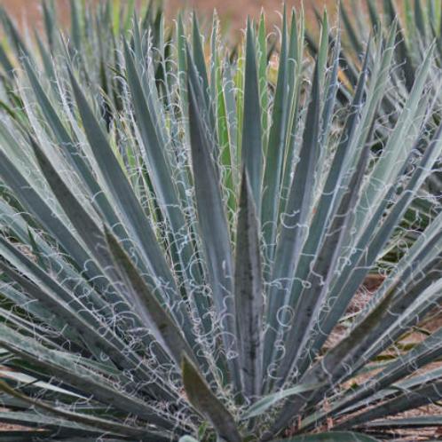 Yucca - Excalibur
