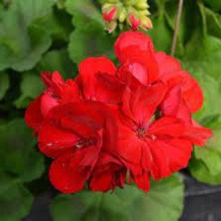 Geranium - Big Eeze Dark Red