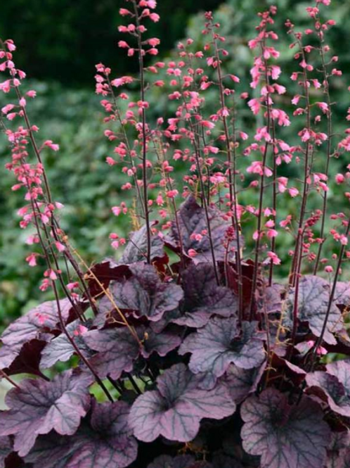 Heuchera - Grape Expectations