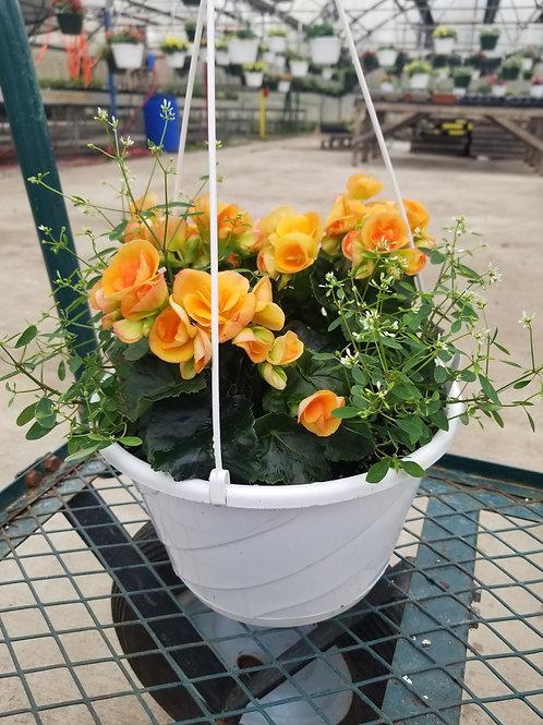 Begonia - Dark Britt Hanging Basket