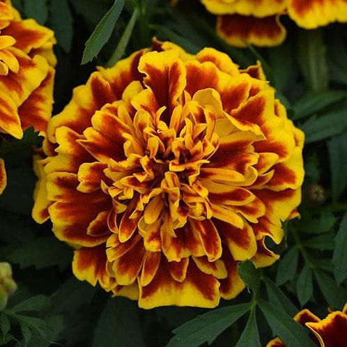 Marigold - Bonanza Bee