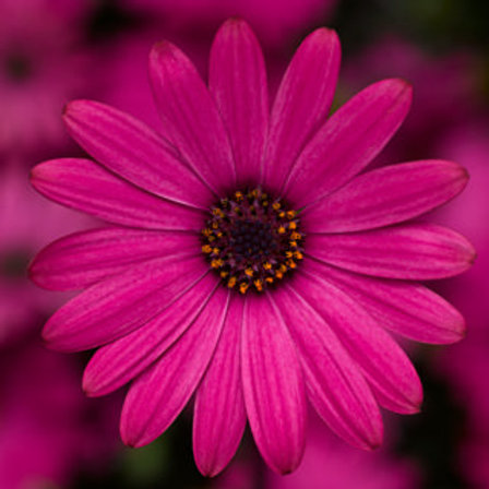 Osteospermum - Tradewinds Rose