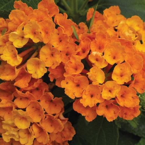 Lantana - Bandana Orange