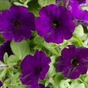 Petunia - Sanguna Patio Blue