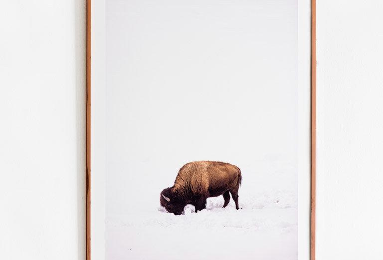 Bisonte en Yellowstone