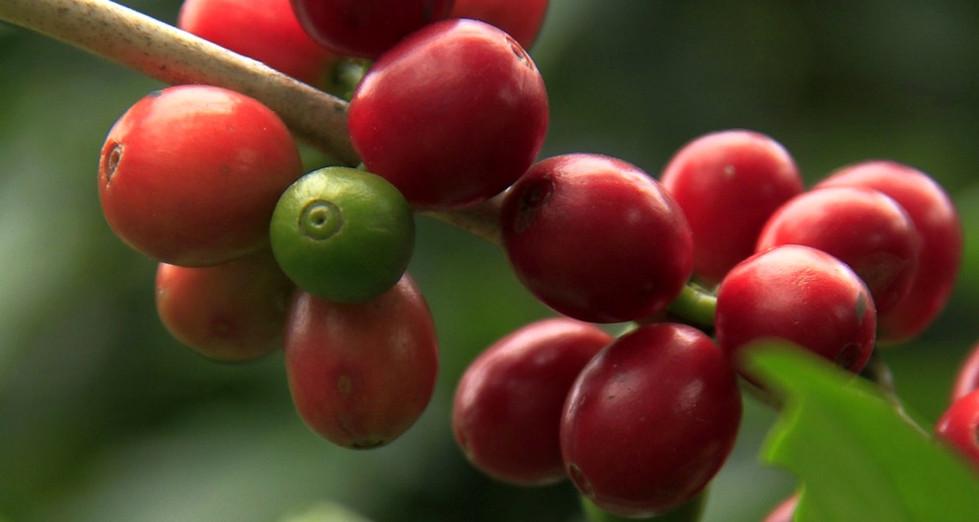 En Finca Margaritas cultivamos café de la variedad Pluma Typica,