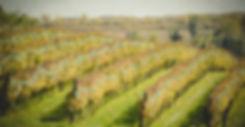 Balaton, borszőlő, szőlőtőke, szőlősorok, szőlő ültetvény, Badacsonyi borvidék