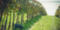 szüret, Balaton, borszőlő, szőlőtőke, szőlősorok, szőlő ültetvény, Badacsonyi borvidék
