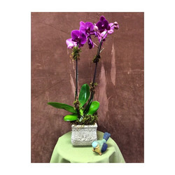 Orchid double spike