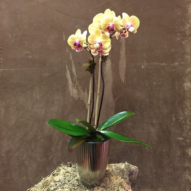 double spike orchid planter