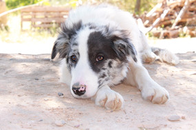 border collie mirlo