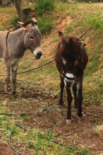 burro catalan