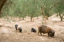 cerdos pastando