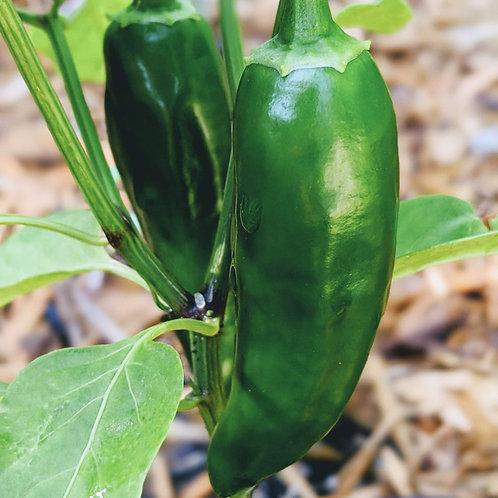 Jalapeño Hot Pepper (Capsicum annuum), 40 Seeds, Organic