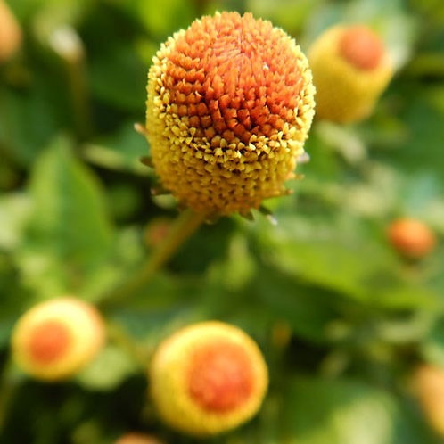 Spilanthes, Official (Acmella oleracea) seeds, Organic