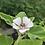 Thumbnail: Marshmallow (Althaea officinalis) 100 seeds, Organic