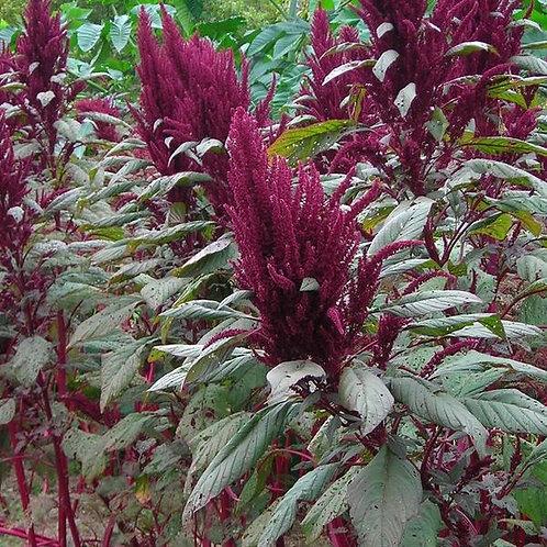 Mayo Indian Grain Amaranth (Amaranthus cruentus), Organic