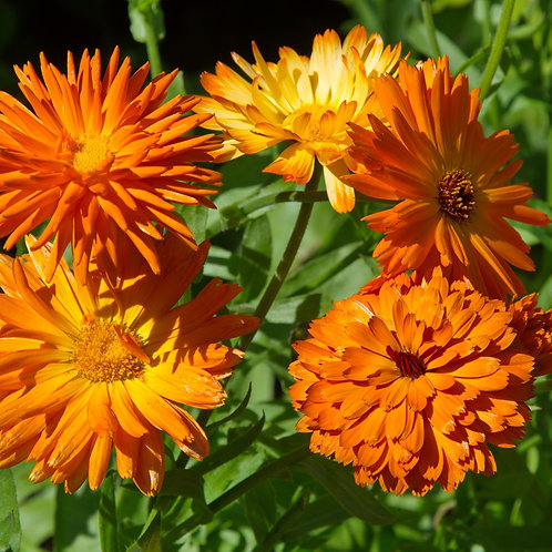 Calendula, Orange (Calendula officinalis) seeds, organic