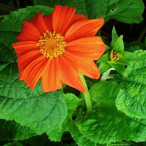Red Torch Mexican Sunflower (Tithonia rotundifolia), 30 Seeds, Organic