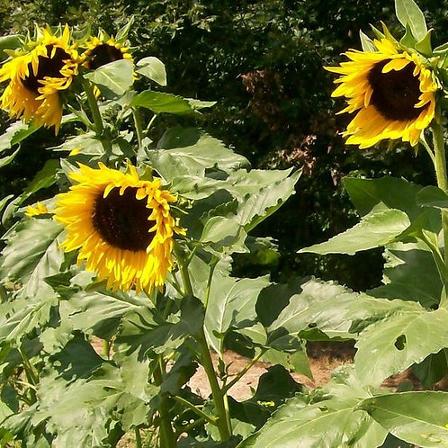 Hopi Dye Sunflower (Helianthus annuus), 45 Seeds, Organic
