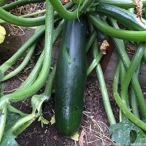 Zucchini, Black Beauty, 30 Seeds, Organic