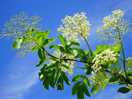 The Wise Elder (Elderberries and Elderflowers)