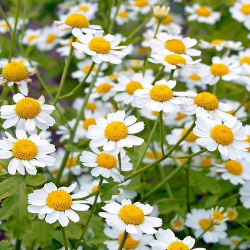 Feverfew (Tanacetum parthenium) 100 seeds, Organic