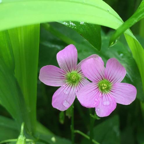Clover_Flower.jpg