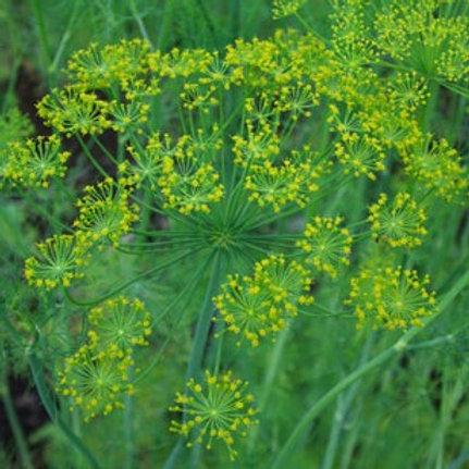 Dill, Bouquet (Anethum graveolens) 200 seeds, Organic
