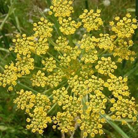 Fennel, Common (Foeniculum vulgare) 100 seeds, Organic