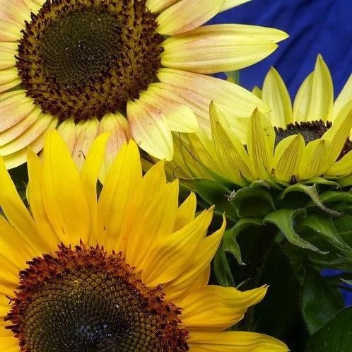 Autumn Beauty Sunflower (Helianthus annuus)