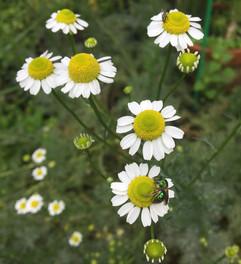chamomile2.jpg
